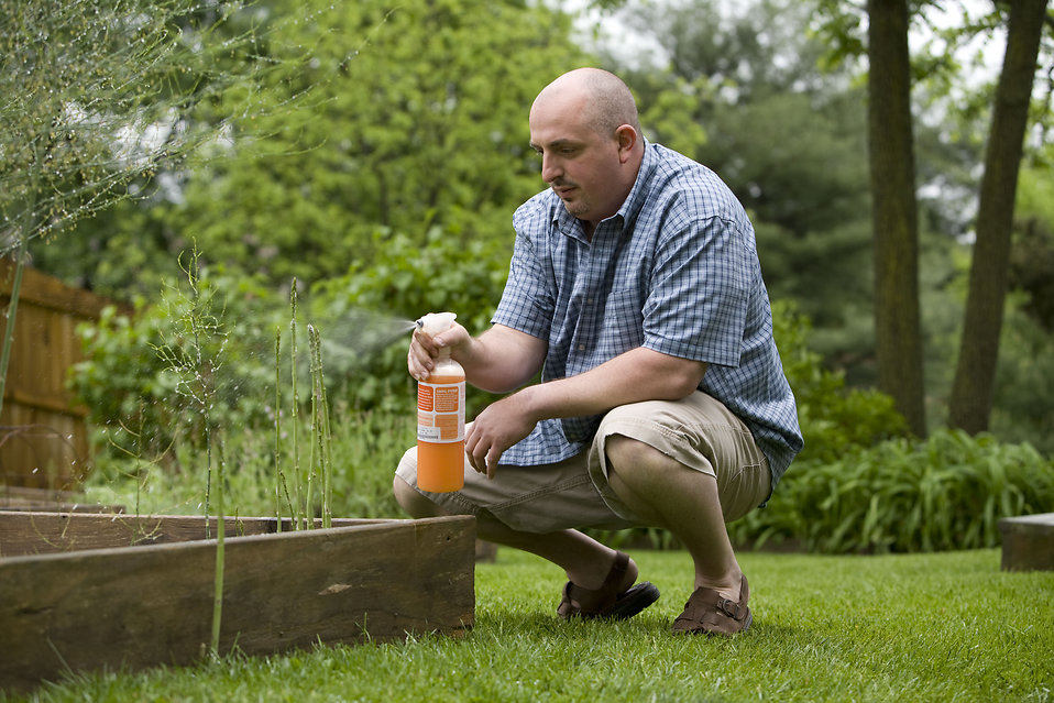 A man spraying a pesticide on some plants in his garden : Free Stock Photo