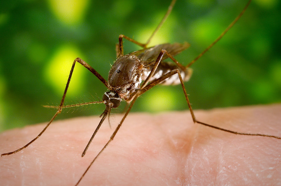 A mosquito feeding on a human finger : Free Stock Photo
