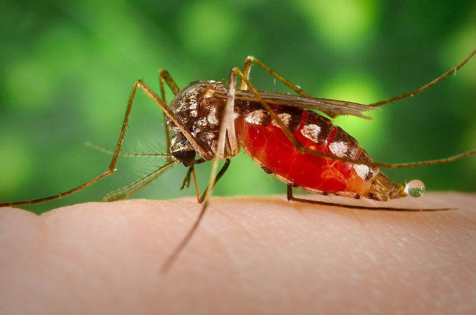 Insect Drink Human Blood