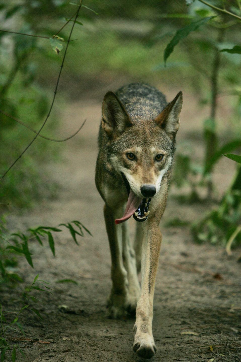 Close-up of a wolf walking in the woods : Free Stock Photo