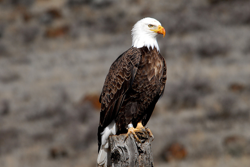 A Banded Adult Bald Eagle : Free Stock Photo