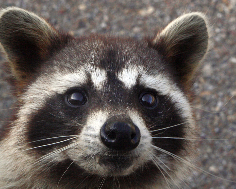 Close-up view of a Raccoon : Free Stock Photo