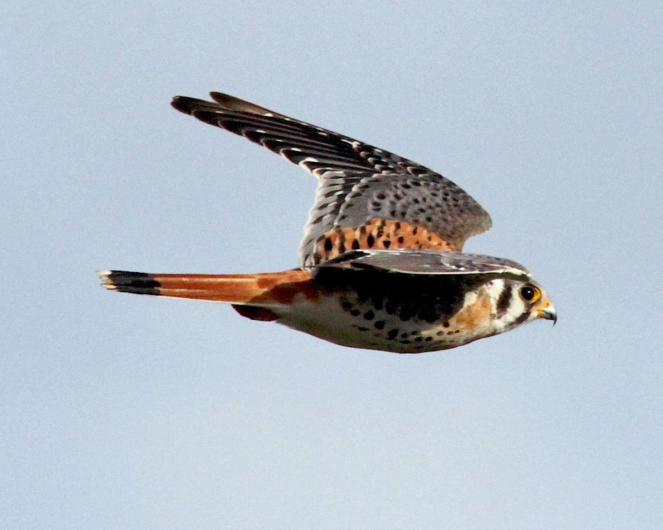 An American Kestrel in flight : Free Stock Photo