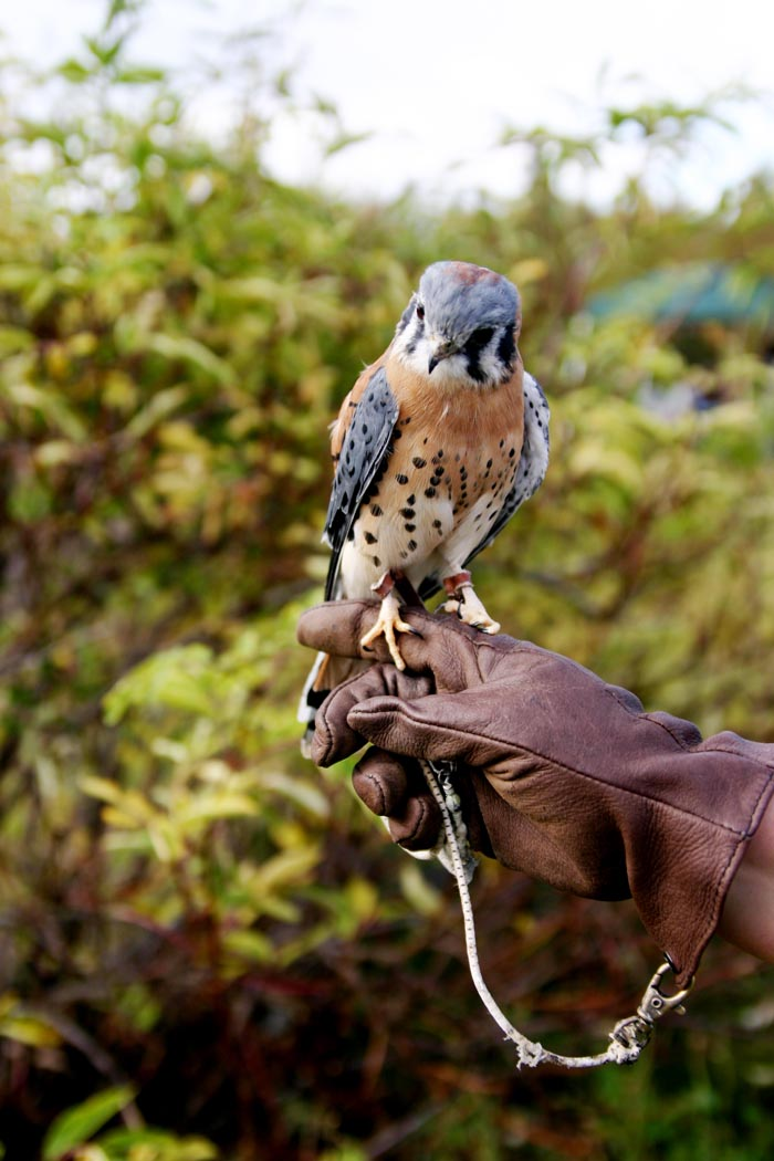An American Kestrel perched on a gloved hand : Free Stock Photo