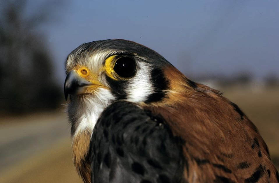 Close-up of an American Kestrel : Free Stock Photo