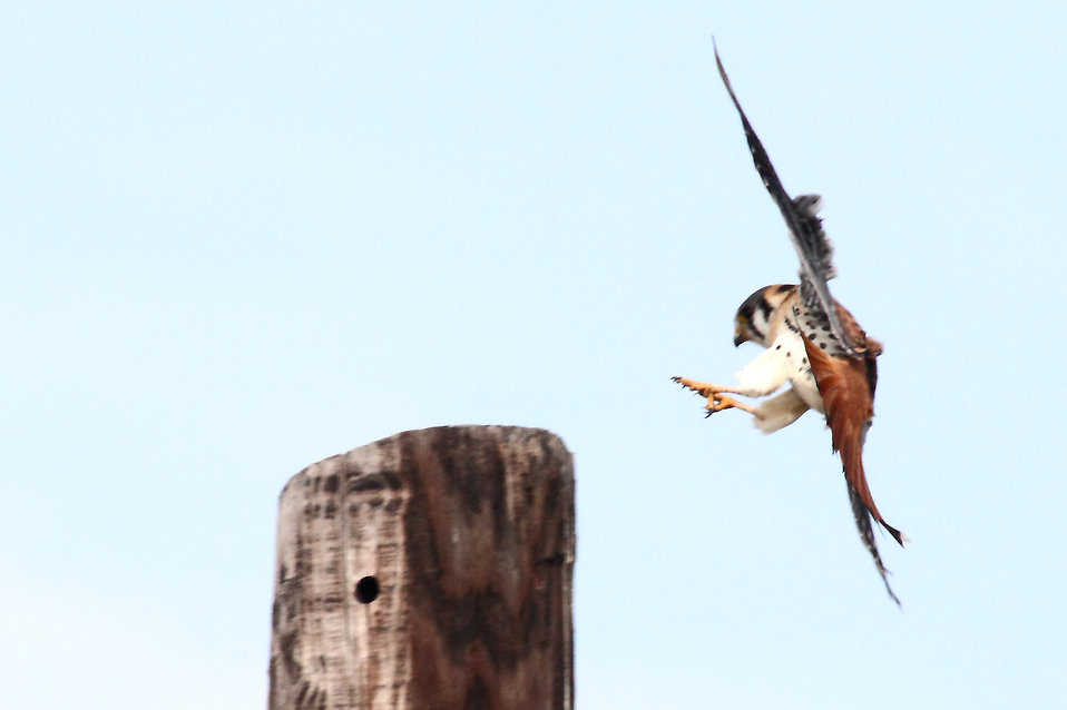 An American Kestrel landing on a post : Free Stock Photo