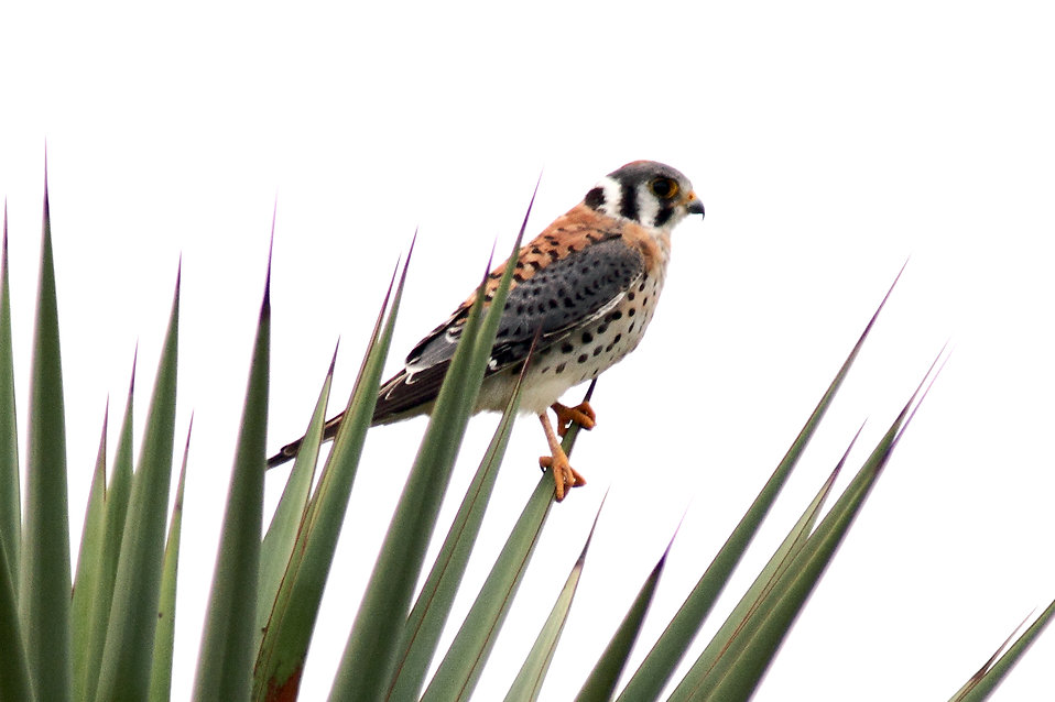 An American Kestrel perched on a plant : Free Stock Photo