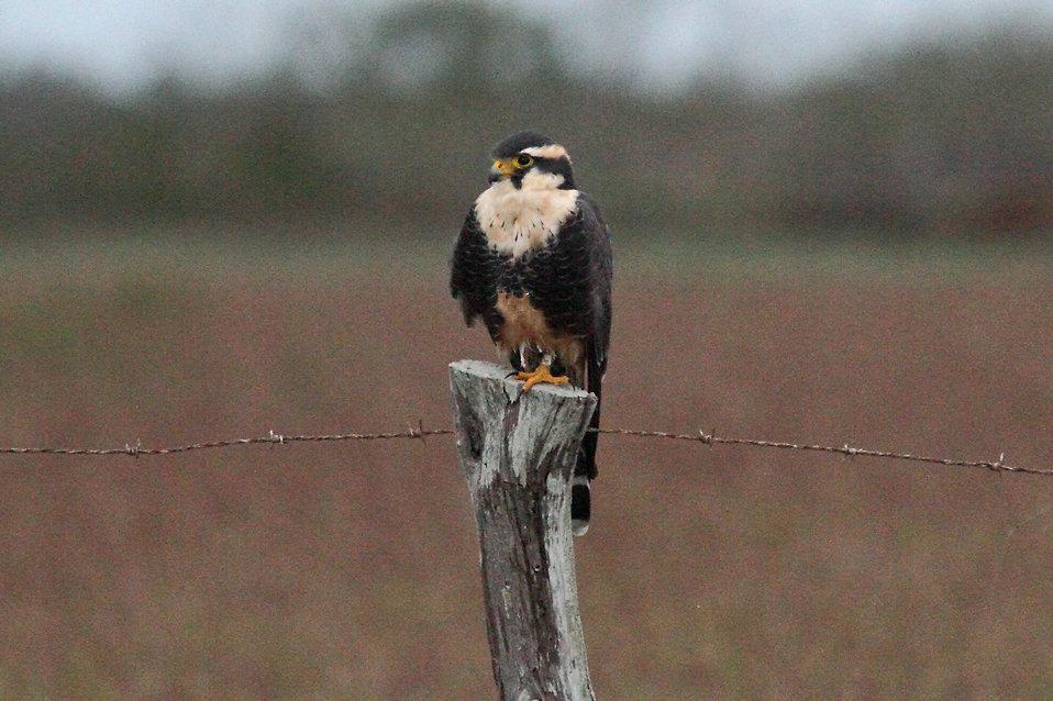 An Aplomado Falcon : Free Stock Photo