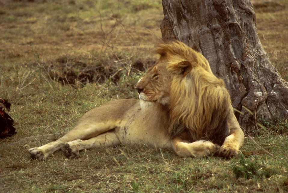 An African lion resting under a tree : Free Stock Photo