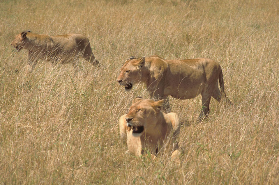 An African lion with cubs walking in the grass : Free Stock Photo