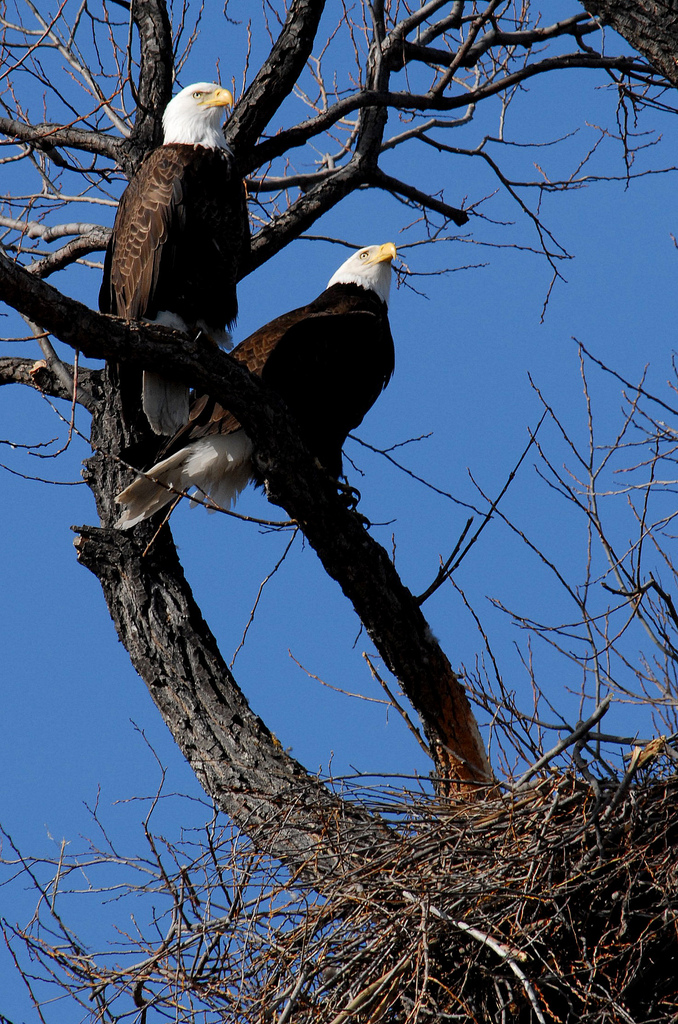 Two bald eagles and their nest : Free Stock Photo