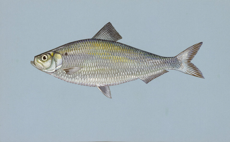 Illustration of an alewife herring fish : Free Stock Photo