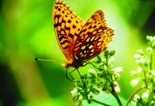 Aphrodite Fritillary butterfly on Milkweed : Free Stock Photo