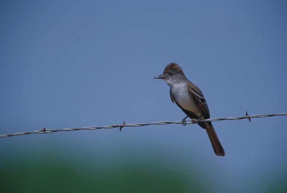 An Ash-throated flycatcher bird : Free Stock Photo