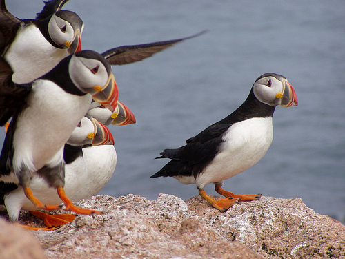 Atlantic Puffins standing on rocks : Free Stock Photo