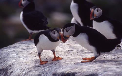 Atlantic Puffins standing on rocks : Free Stock Photo