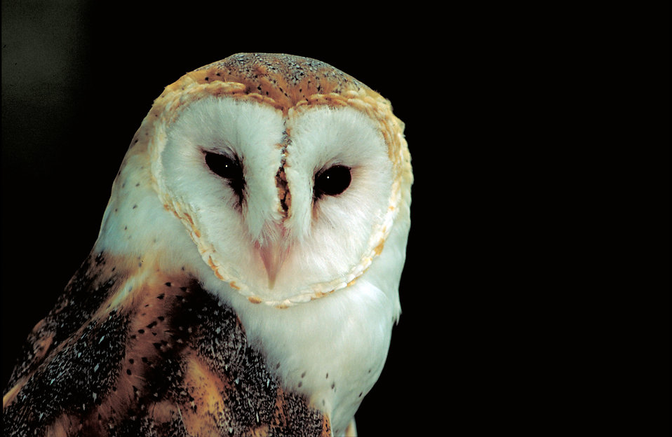 Close-up of a barn owl : Free Stock Photo
