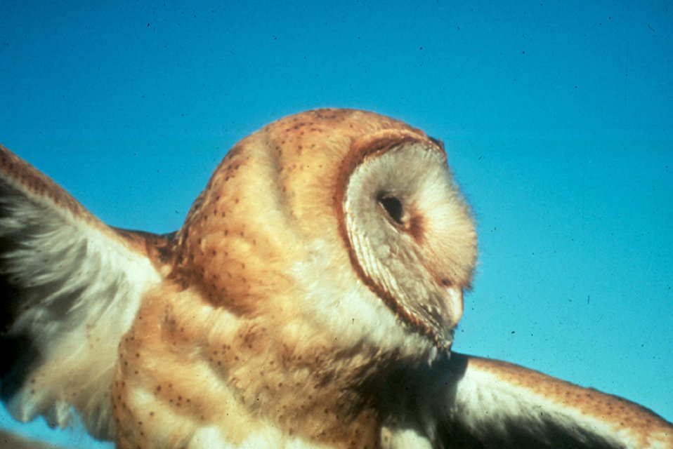 Close-up of a barn owl in flight : Free Stock Photo