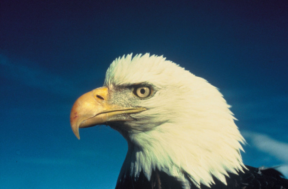 Close-up of a bald eagle : Free Stock Photo