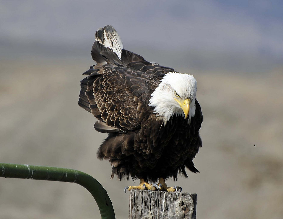 A bald eagle on a fence post : Free Stock Photo
