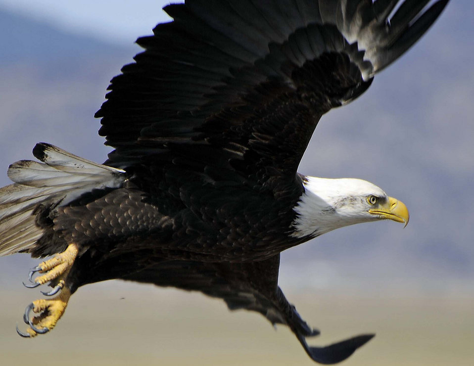 A bald eagle in flight : Free Stock Photo
