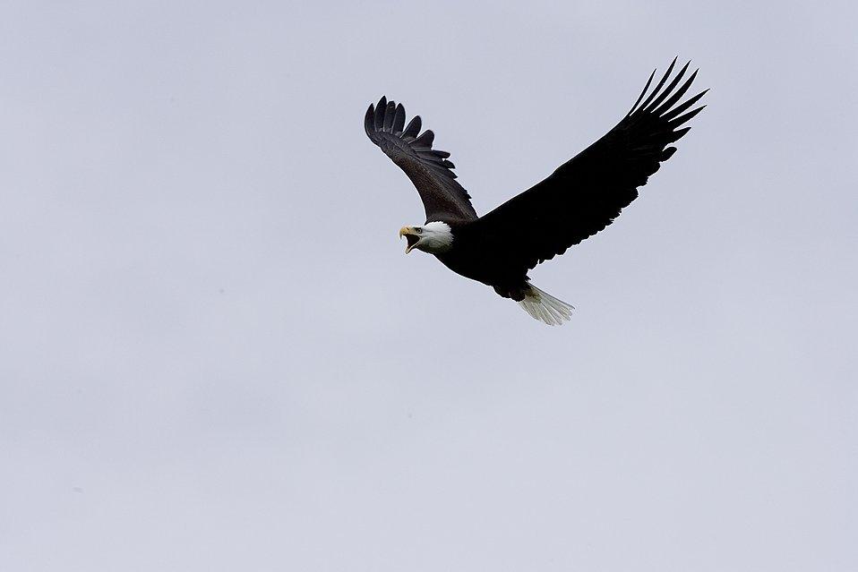 Bald Eagle in Flight : Free Stock Photo