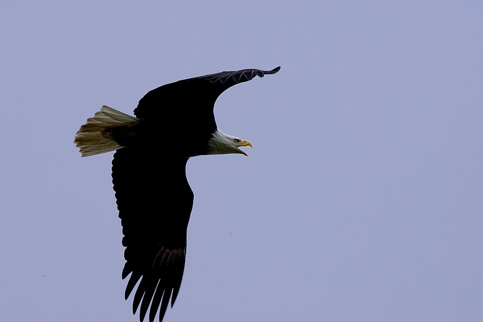 A bald Eagle in Flight Overhead : Free Stock Photo
