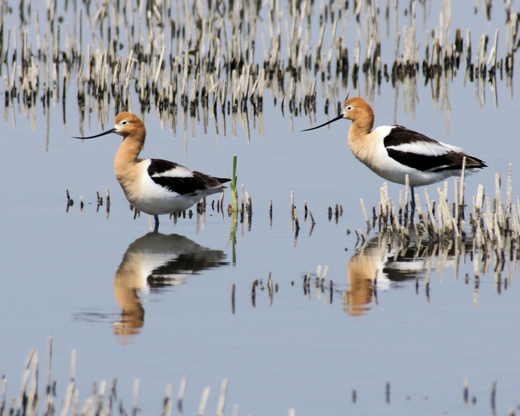 Two American Avocets : Free Stock Photo