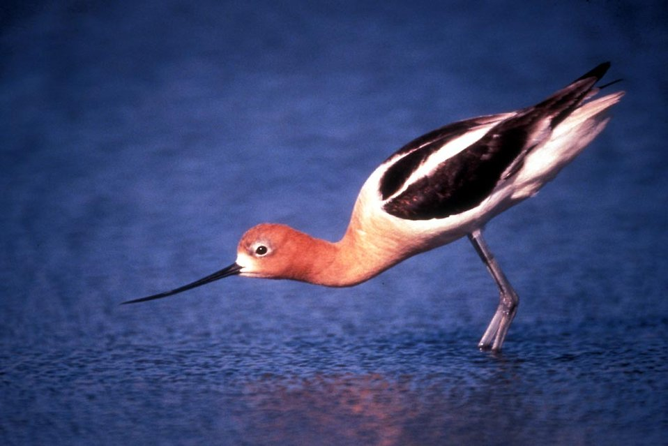 An American Avocet : Free Stock Photo