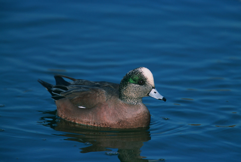 An American Wigeons : Free Stock Photo