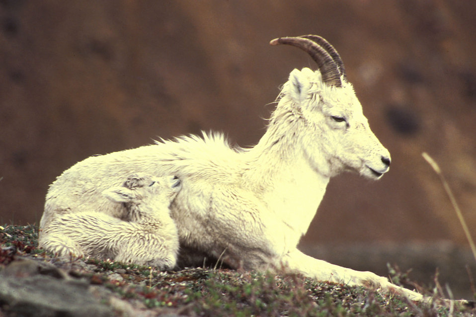 Dall sheep ewe and lamb lying down : Free Stock Photo