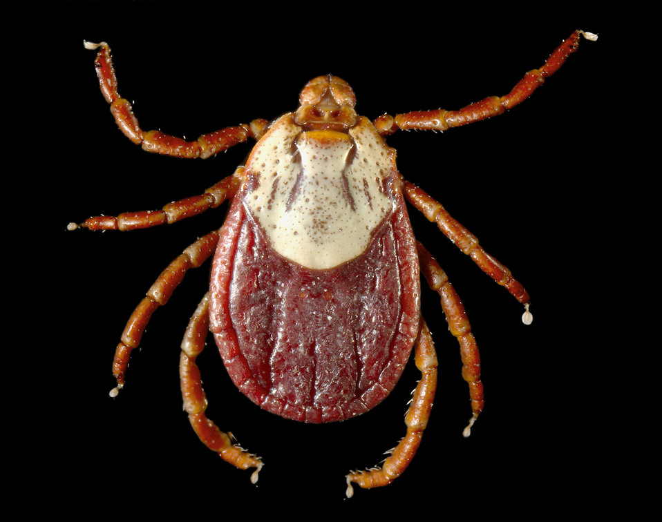 This photograph depicts a dorsal view of a female Rocky Mountain wood tick, Dermacentor andersoni. This tick specie is a known North American vector of Rickettsia rickettsii, which is the etiologic agent of Rocky Mountain spotted fever.