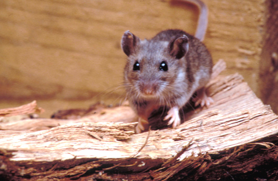 Close-up of a deer mouse : Free Stock Photo