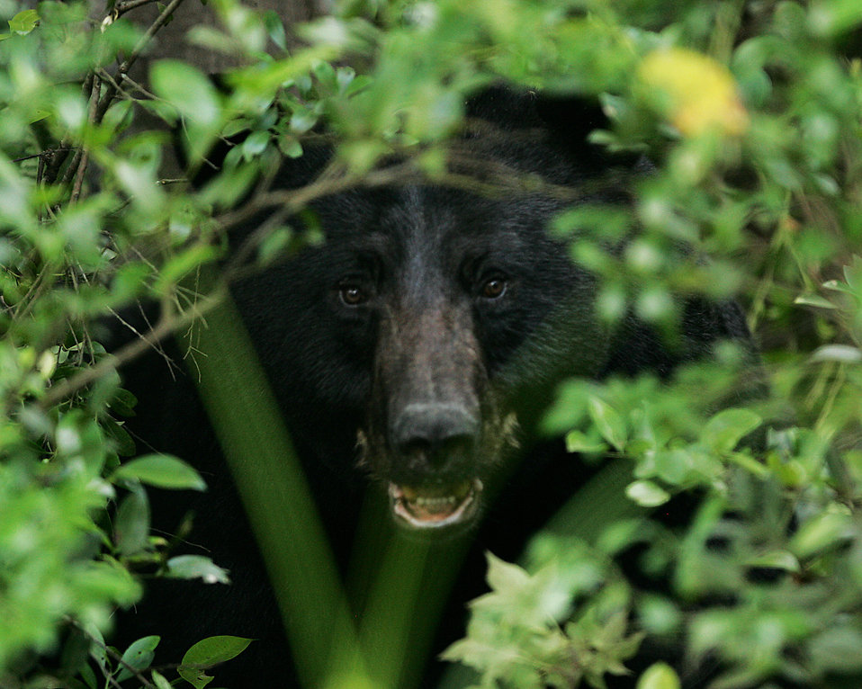 A black bear in the bushes : Free Stock Photo