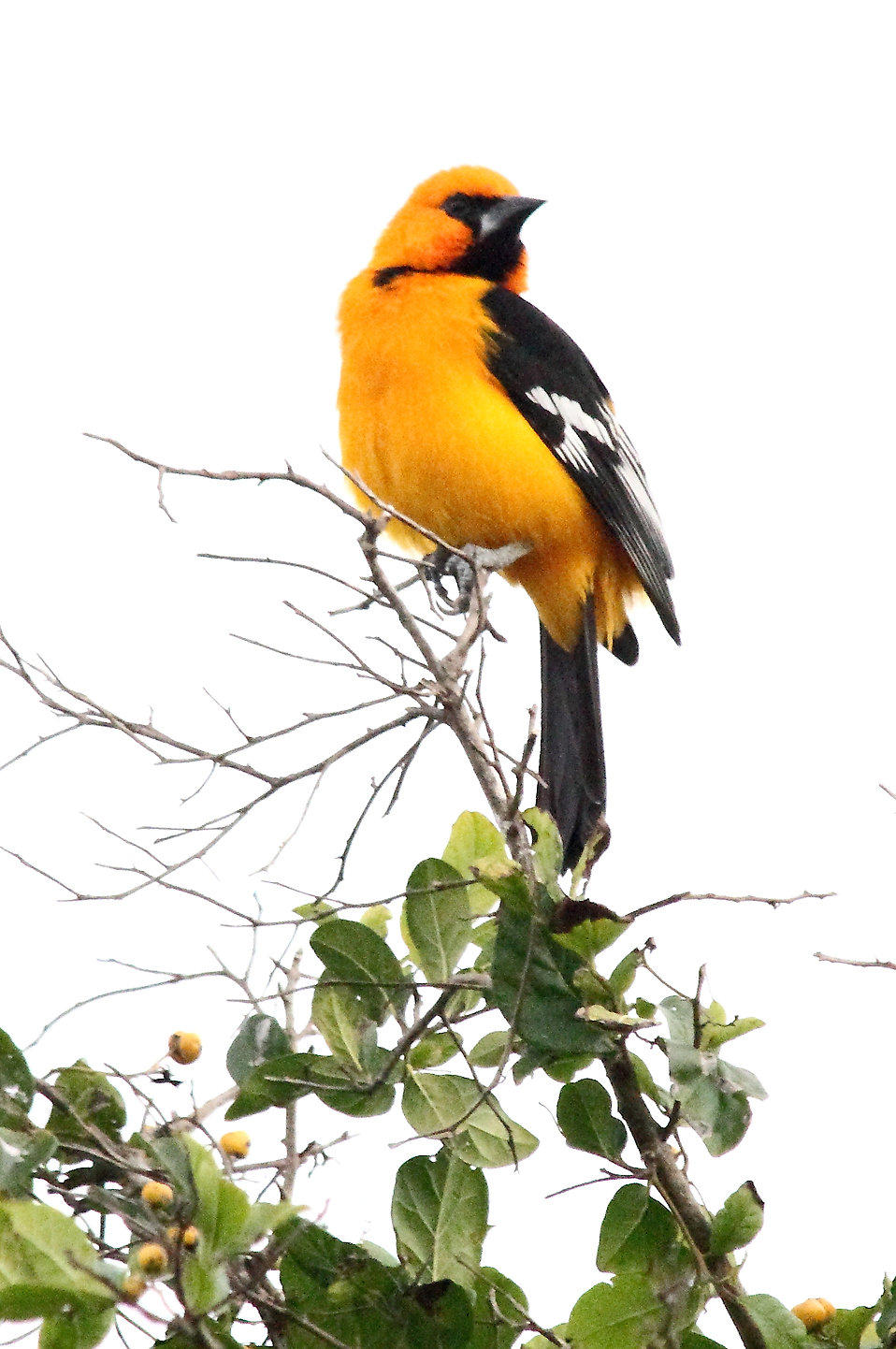 Close-up of an Altamira Oriole bird : Free Stock Photo