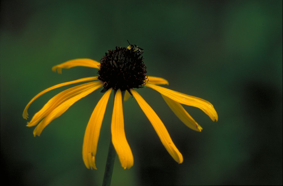 Close-up of a yellow coneflower : Free Stock Photo