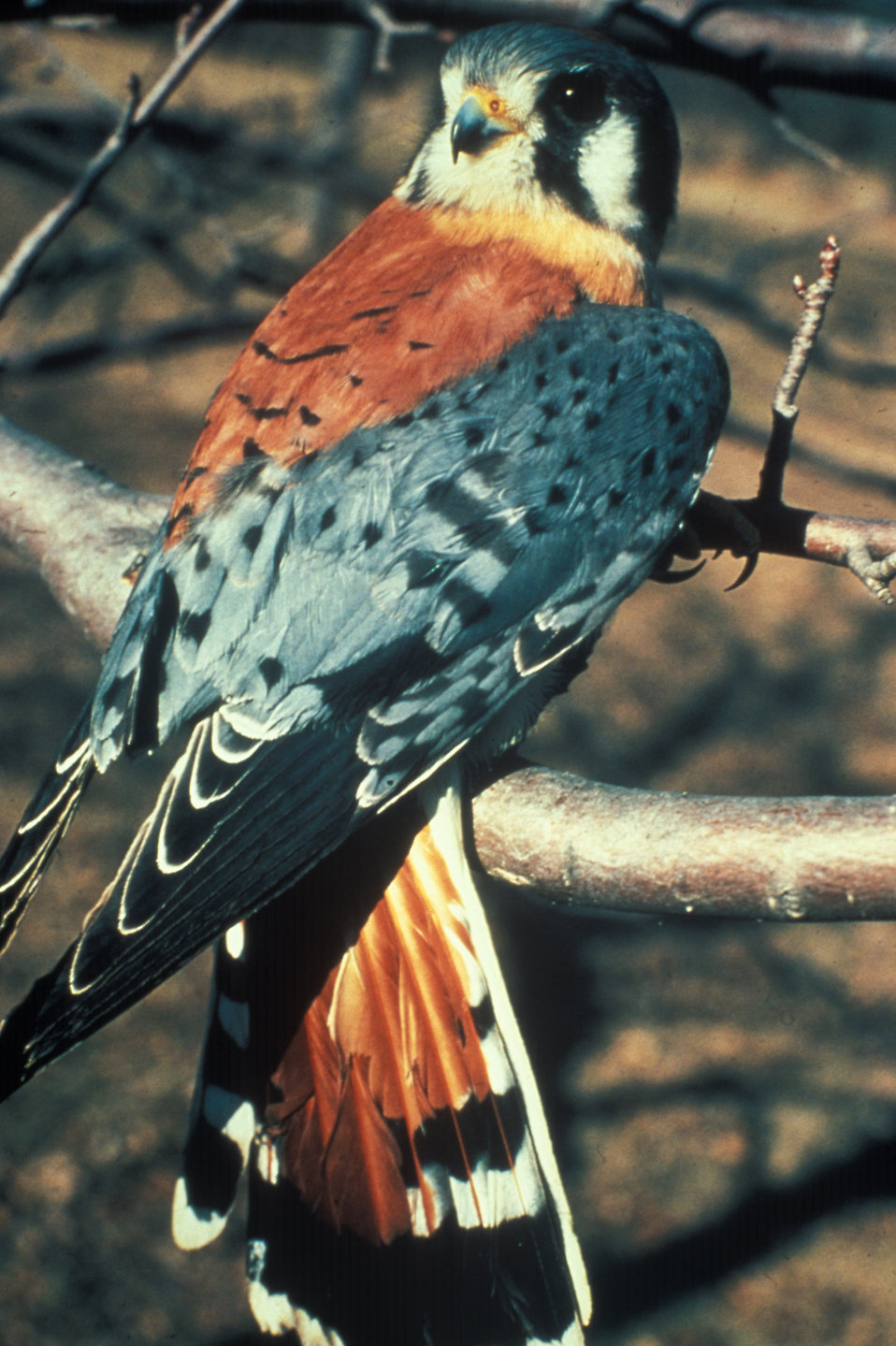 An American kestral : Free Stock Photo