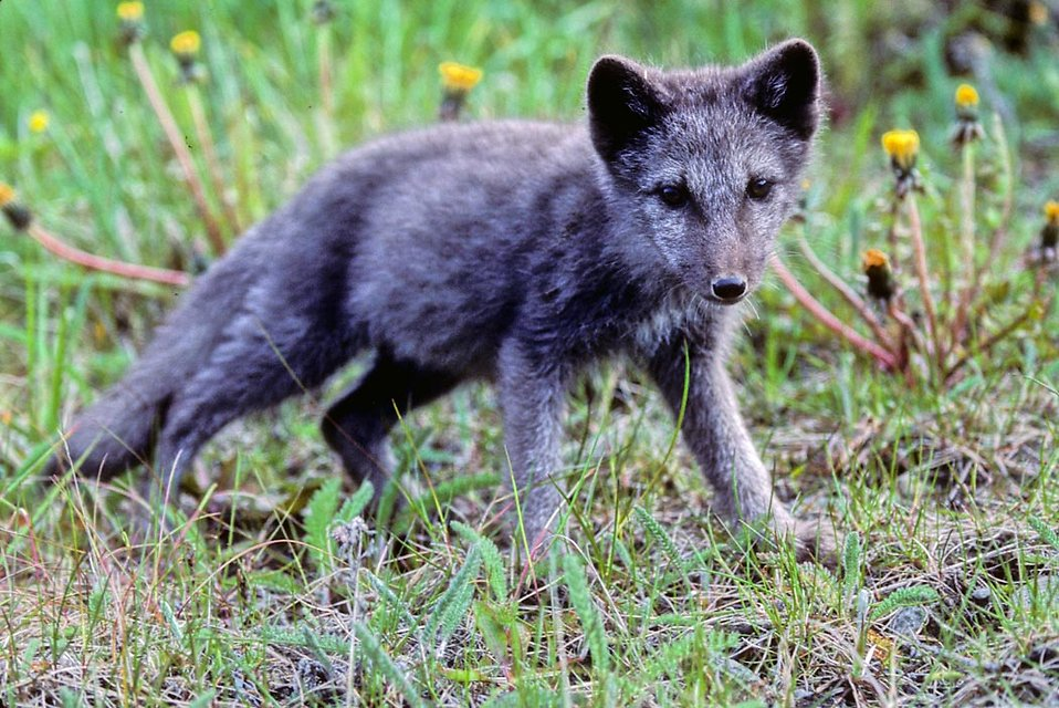 An arctic fox pup : Free Stock Photo
