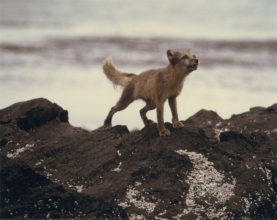 An arctic fox on rocks : Free Stock Photo