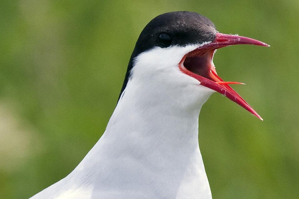 An Arctic Tern : Free Stock Photo