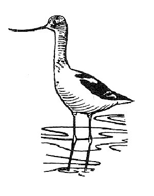 A sketch of an avocet : Free Stock Photo