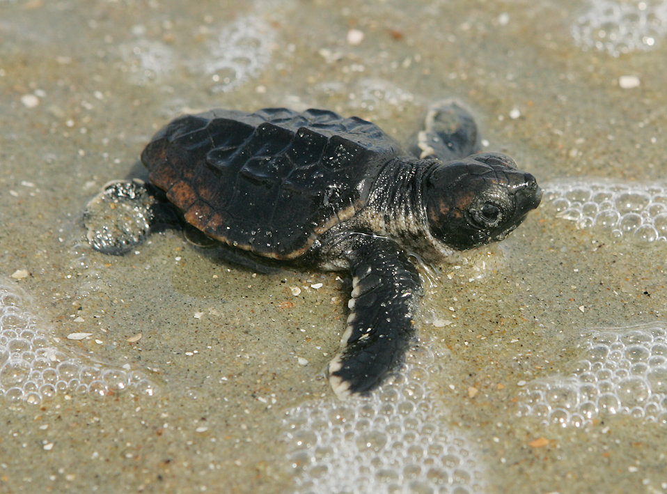 A baby loggerhead turtle : Free Stock Photo
