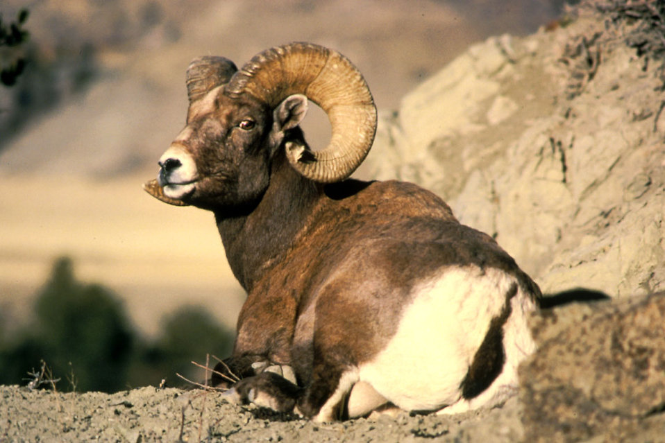 A bighorn ram resting by some rocks : Free Stock Photo