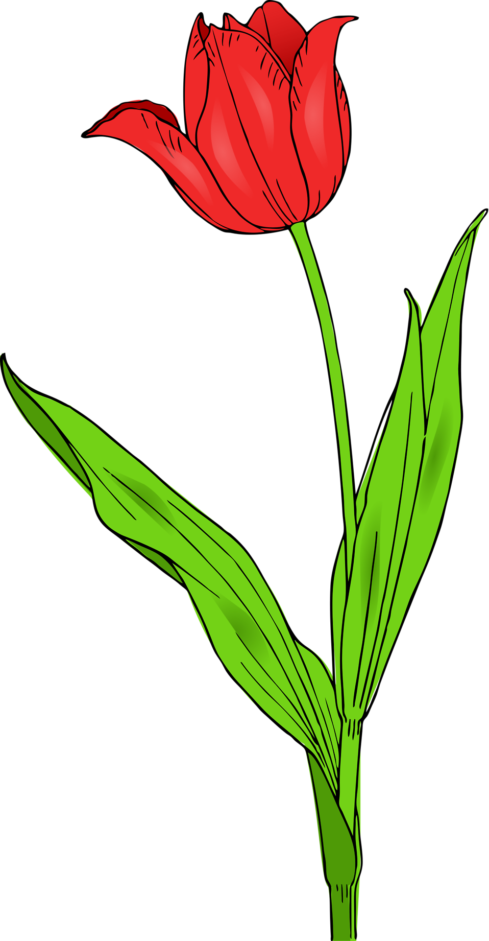 Illustration of a red tuliip : Free Stock Photo
