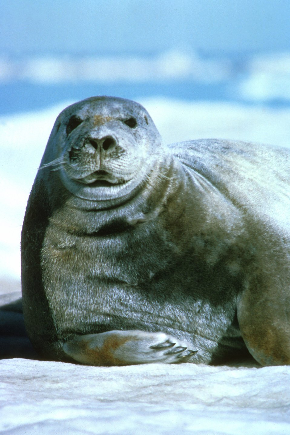 A close-up of a bearded seal : Free Stock Photo