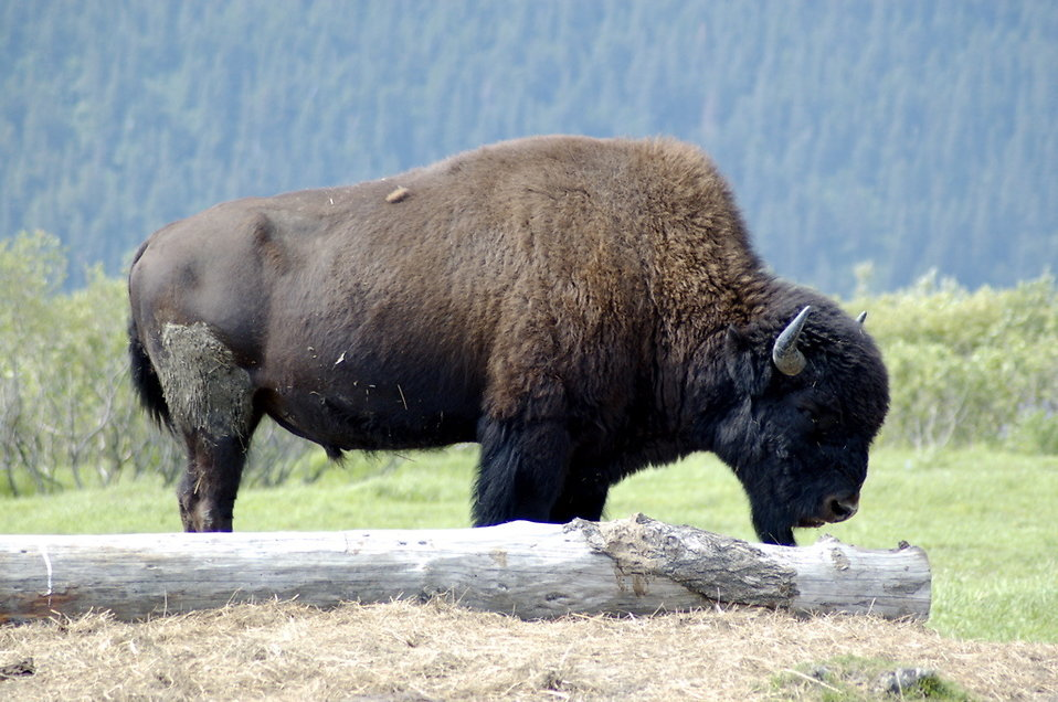 Close-up of a bison : Free Stock Photo