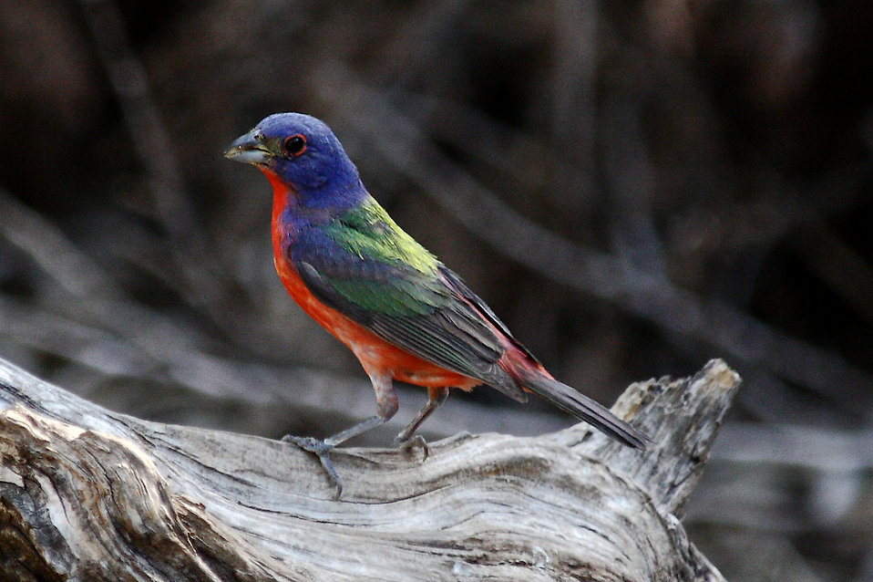 A colorful painted bunting bird : Free Stock Photo