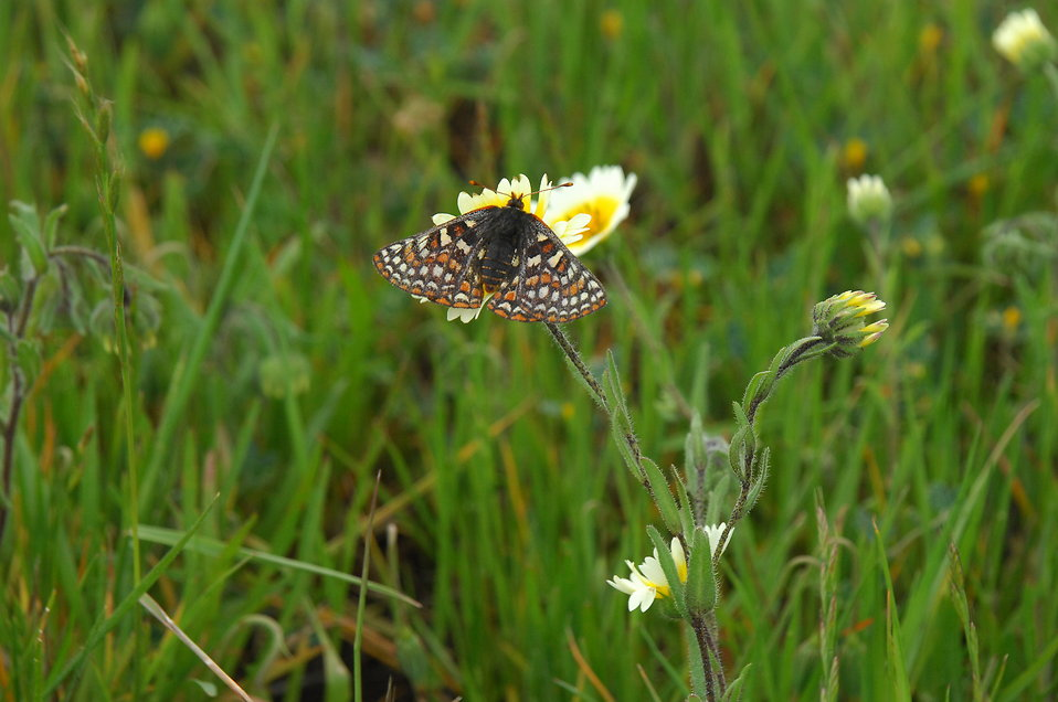 An endangered Bay Checkerspot butterfly rests on a yellow flower.