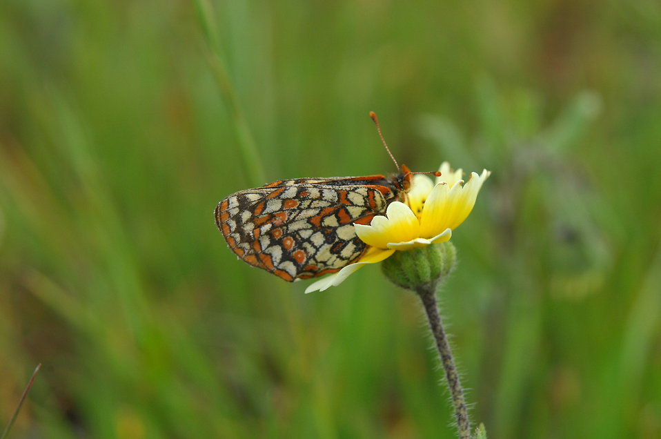 A bay checkerspot butterfly : Free Stock Photo