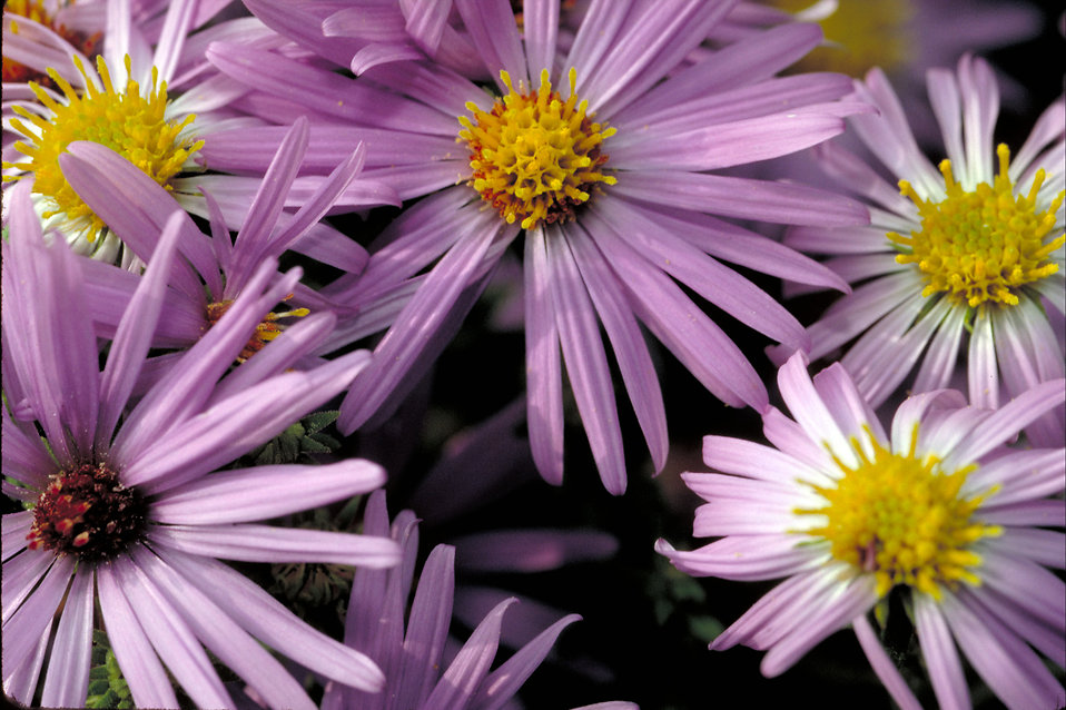Close-up of purple flowers : Free Stock Photo